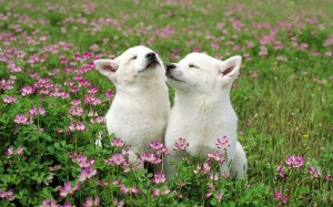 puppies-in-the-field