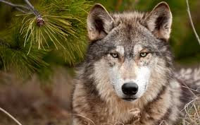 for real wolf