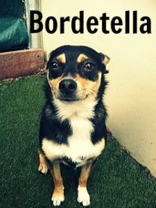 bordetella fancy