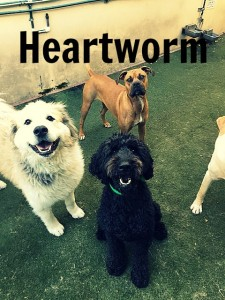 heartworm fancy