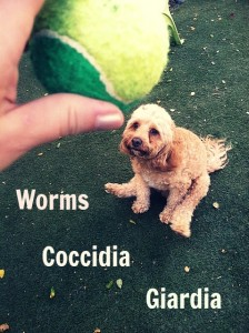 worms coccidia giardia fancy