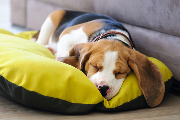 Beagle puppy sweet sleeping in dog bed